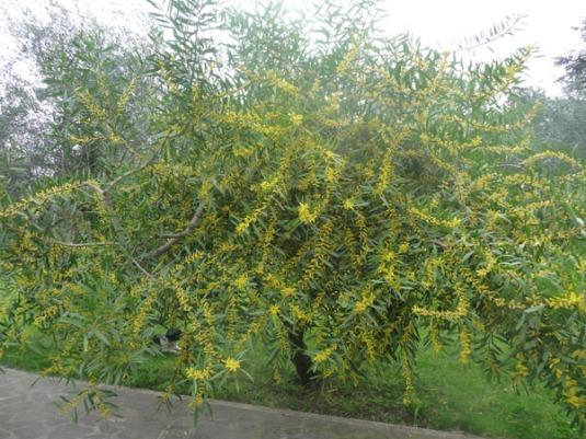 mimosa del mio giardino