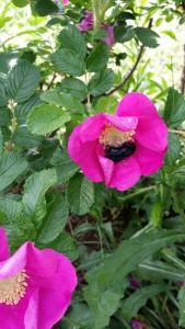 rosa canina con calabrone